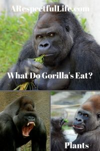 What Do Gorillas Eat and Where Do They Get Their Protein?