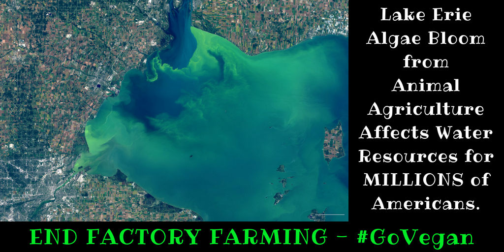 Lake Erie Algae Bloom from Animal Agriculture Effects Water Resources for MILLIONS of Americans